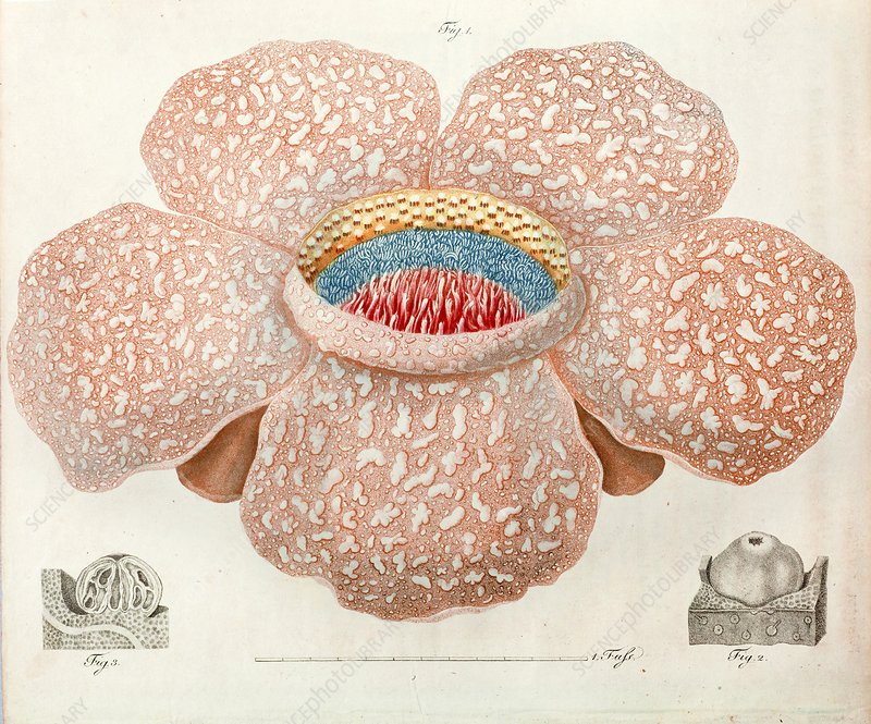 1818 Rafflesia discovery largest flower
