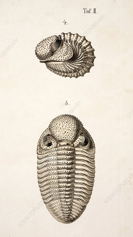 1846 Victorian Trilobite litho Phacops