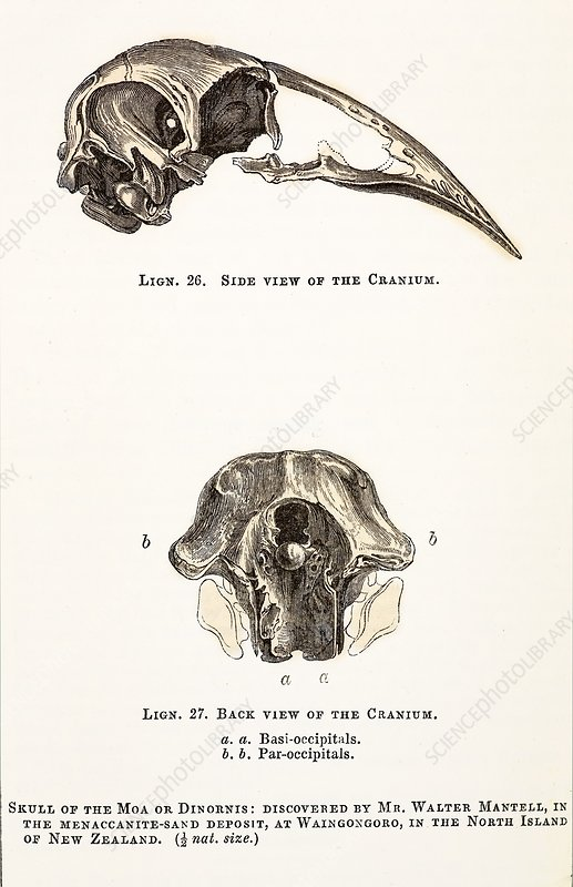 1851 Dinornis Moa Skull discovery