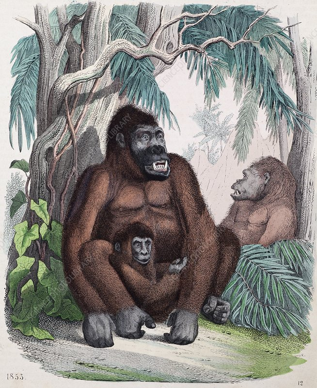 1853 Possible first Gorilla Illustration