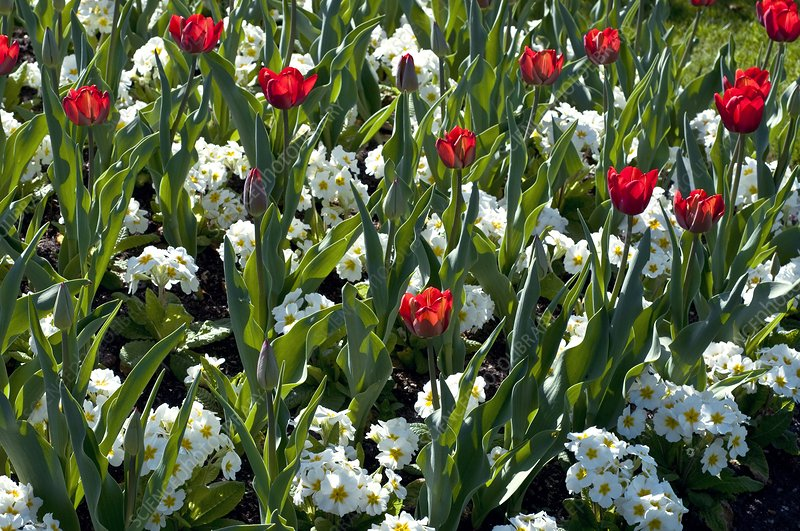 Tulipa sp. and Primula sp