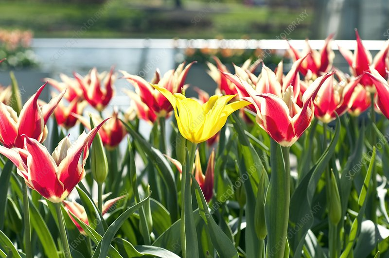 Tulips (Tulipa 'Queen of Sheba')