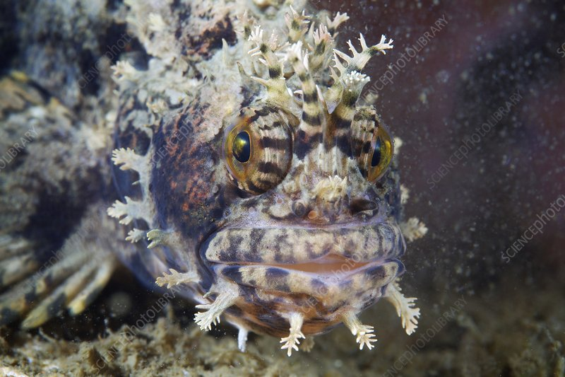 Blenny, Chirolophis japonicus