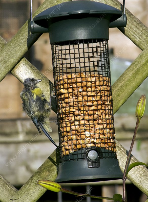 Disfigured Blue tit on bird feeder