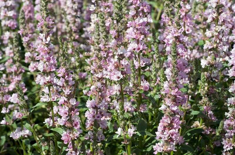 Loosestrife (Lythrum salicaria 'Blush')