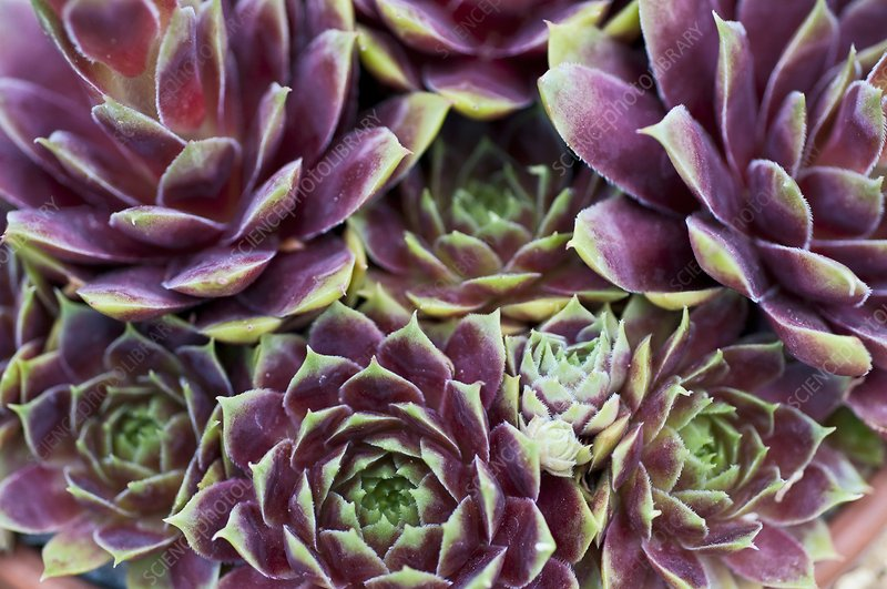 Houseleek (Sempervivum 'Corona')