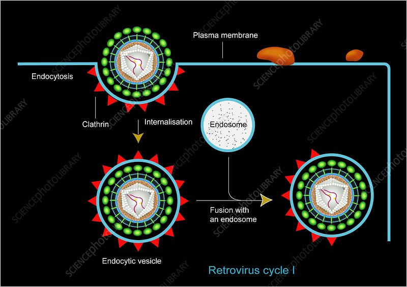 Retrovirus entering a cell, artwork