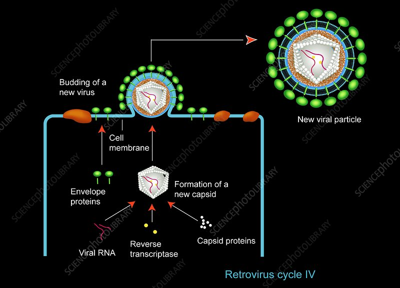 Retrovirus budding from a cell, artwork