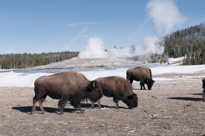 American bison herd at Old Faithful
