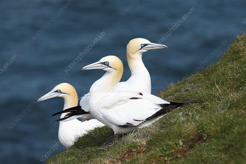 Northern gannets breeding