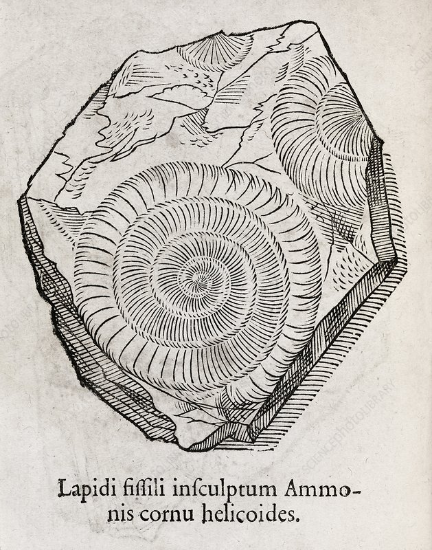 Ammonite fossil, 16th century