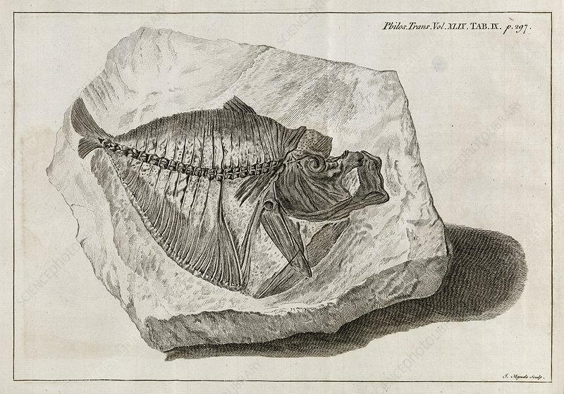 Fossil fish, 18th century