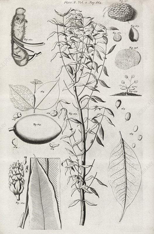 Botanical illustrations, 17th century