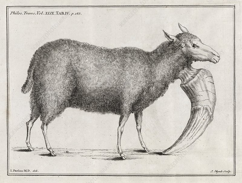Mutant sheep, 18th century
