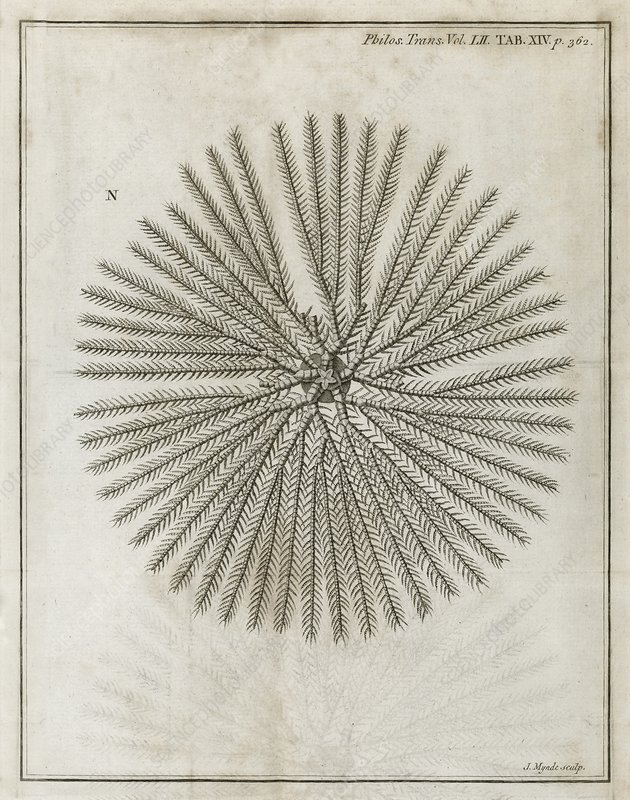 Echinoderm, 18th century