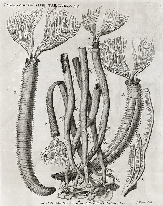 Coral-like polyps, 18th century