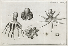 Octopus anatomy, 18th century