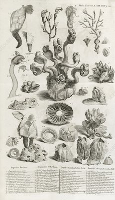 Barnacles, 18th century