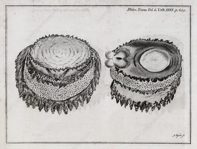 Limpet anatomy, 18th century