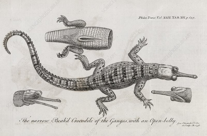 Gharial anatomy, 18th century