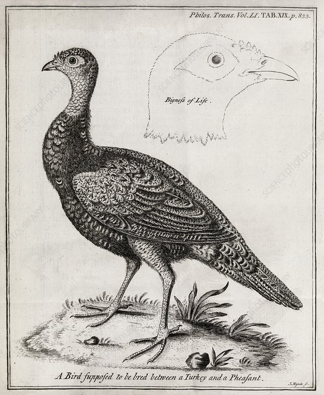 Turkey-pheasant cross, 18th century