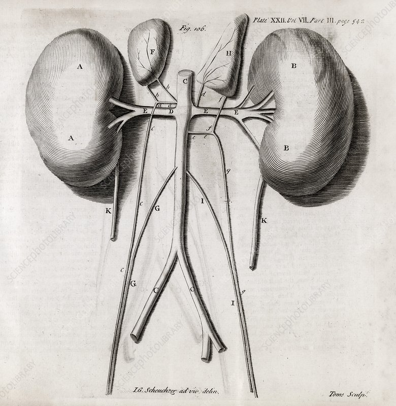 Kidney anatomy, 18th century
