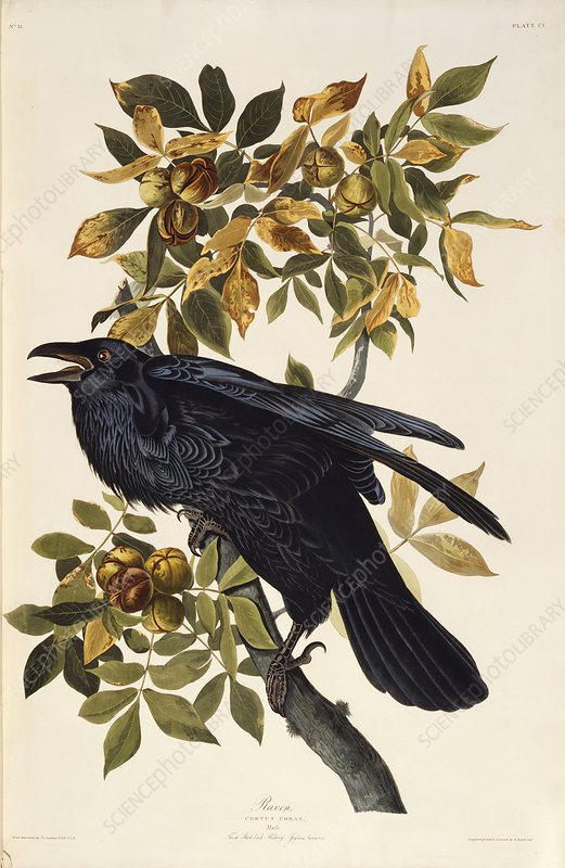 Common raven, artwork