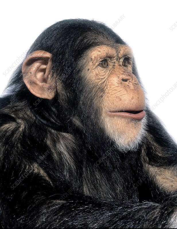 an analysis of the nature and history of the bonono chimpanzee Bonobo physical appearance - view incredible bonobo videos - pan paniscus - on arkive  we use cookies to make your browsing experience better and to analyse  the bonobo is man's closest living relative, together with the chimpanzee  outside of the natural range of the species, eg, in zoos or botanical gardens.