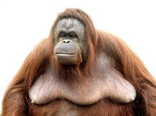 Female adult orangutan