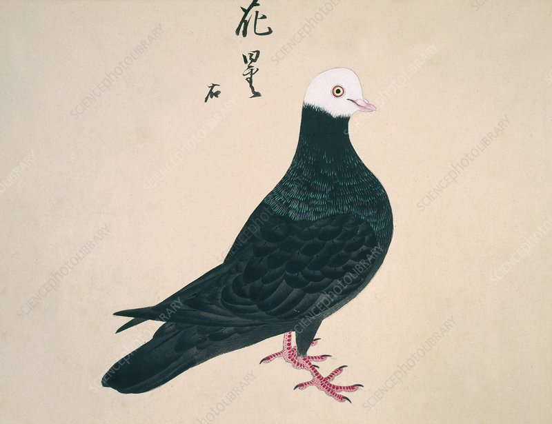 Domestic pigeon, artwork
