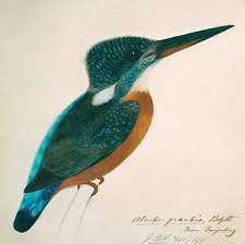 Great Blue Kingfisher, artwork