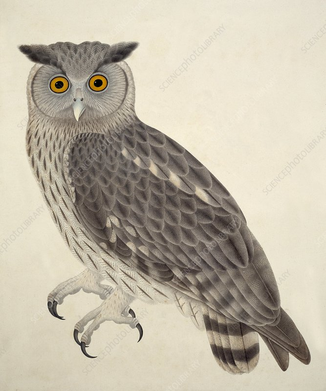 Dusky eagle owl, artwork