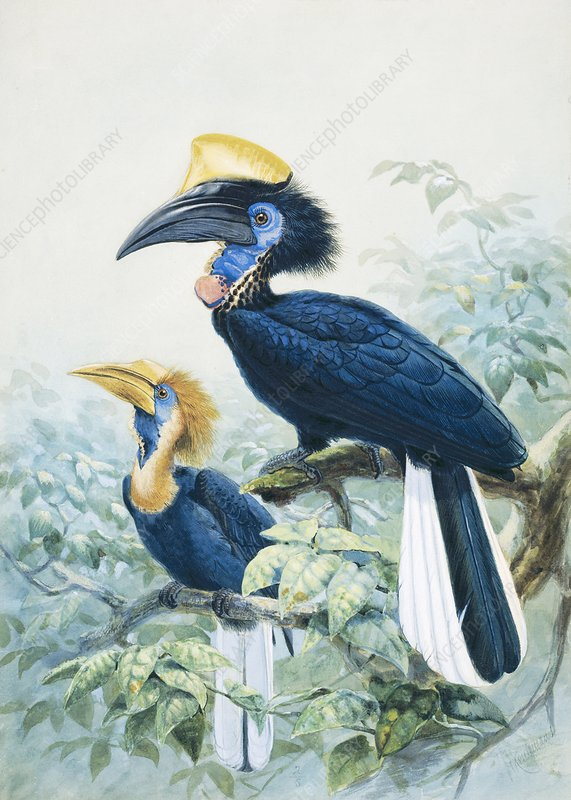 Yellow-casqued hornbill, artwork