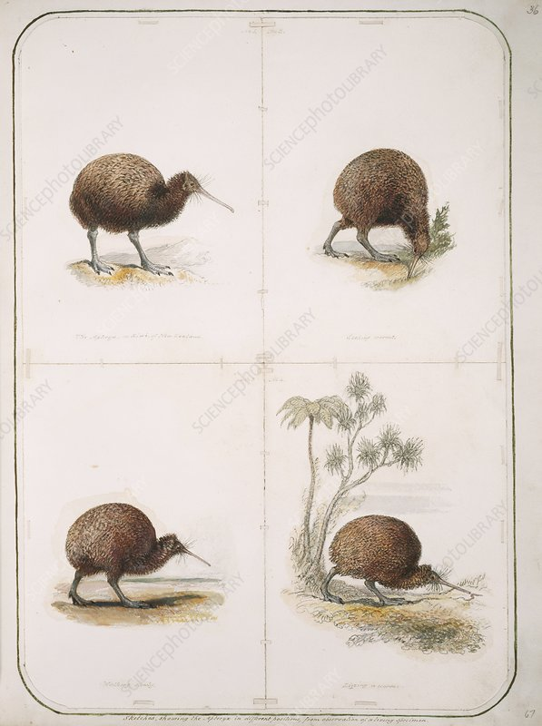 Brown Kiwi, artwork