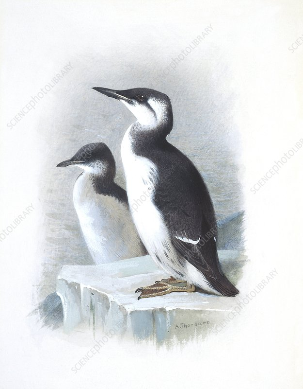 Thick-billed Murre, artwork