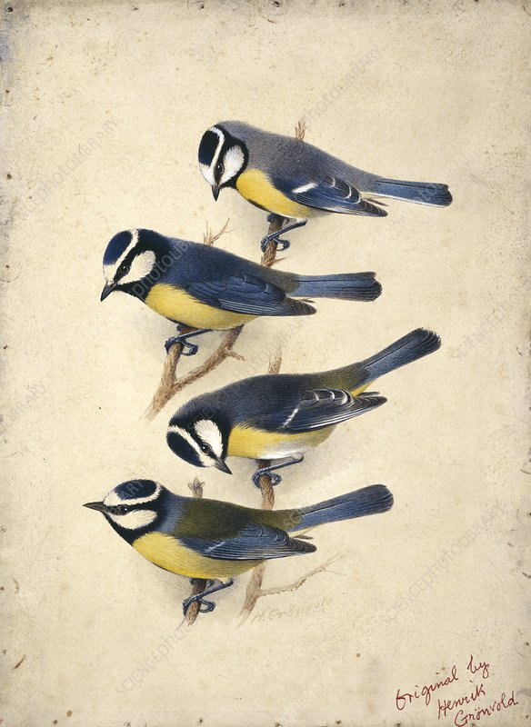 Four subspecies of Blue Tit , artwork