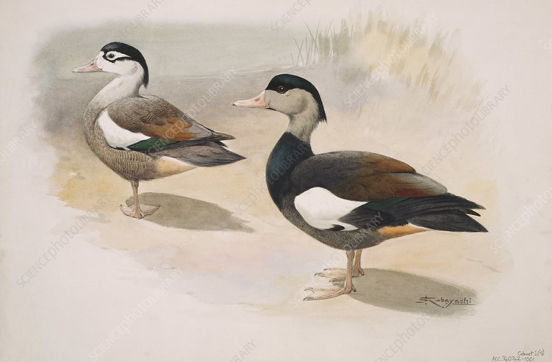 Crested shelduck, artwork