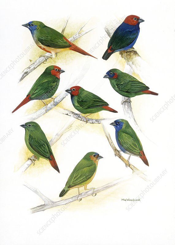 Estrildid finches, artwork