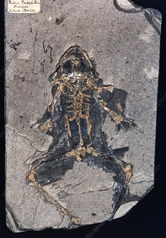Fossil frog