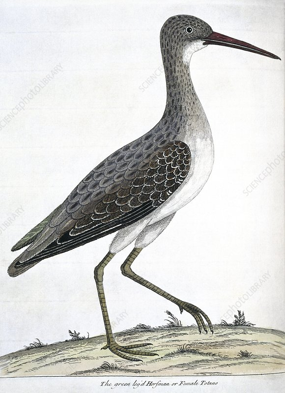 Common Greenshank, artwork