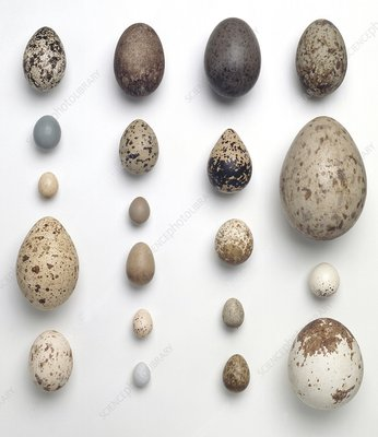 Collection of birds eggs