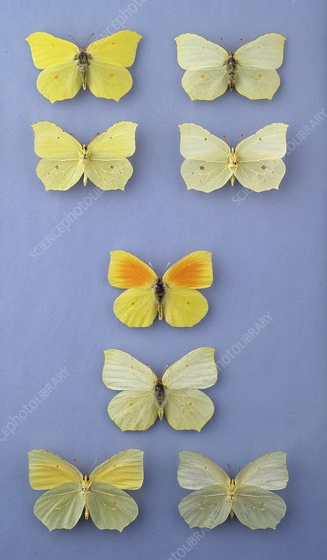Brimstone and cleopatra butterflies