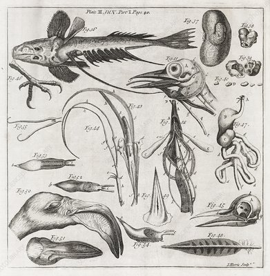 Zoological illustrations, 18th century