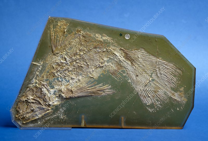 Coccoderma coelacanth fish fossil