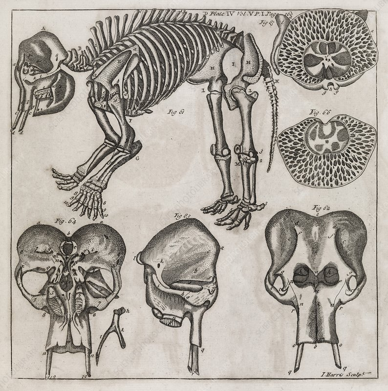 Elephant anatomy, 18th century