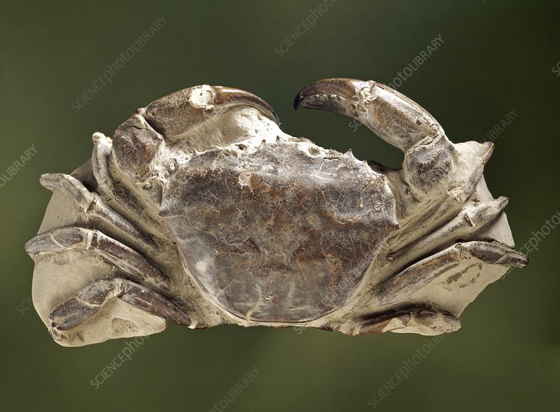 Archaeogeryon crab fossil