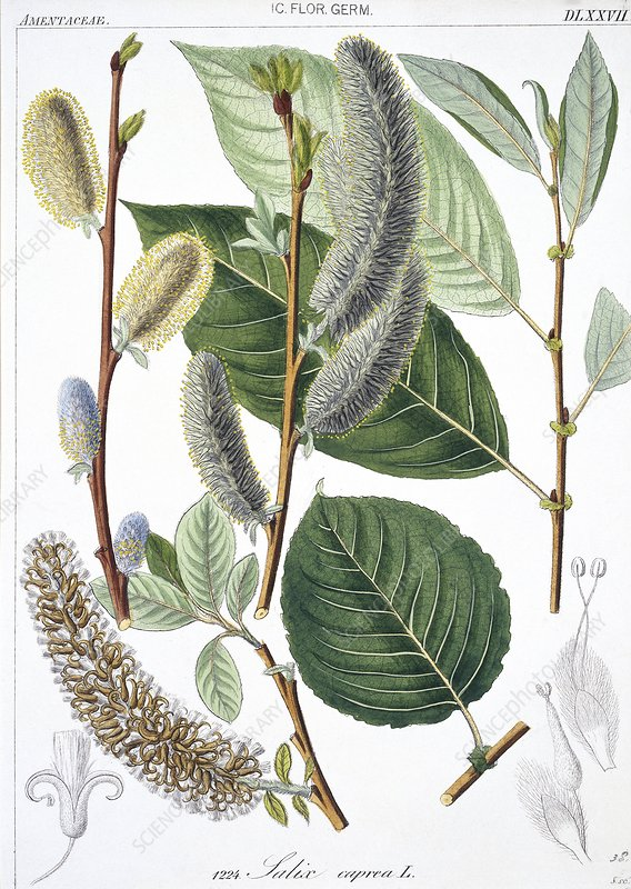 Goat willow Salix caprea, artwork