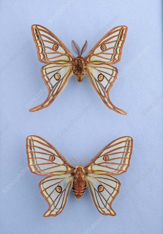 Spanish moon moths