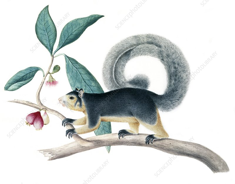 Long-tailed squirrel, artwork