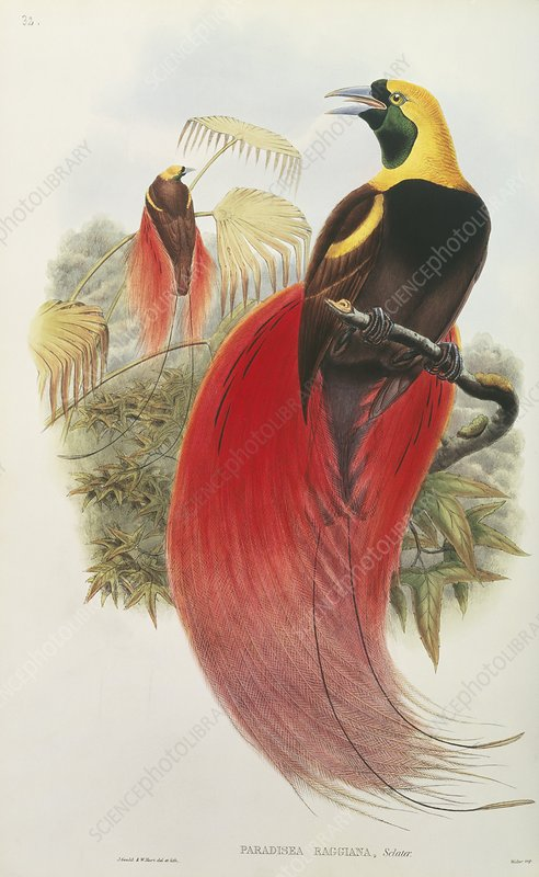 Raggiana Bird of Paradise, artwork